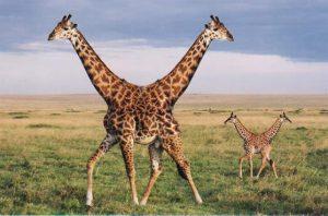 PushMePullYouGiraffes